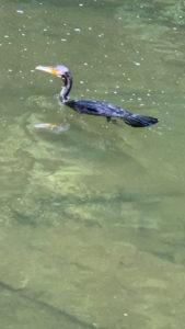 水の中に潜って魚を取る鳥