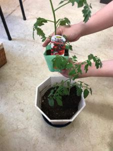 2個分のミニトマトのポット苗