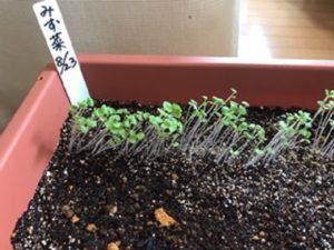 8月23日に撒いた水菜の新芽