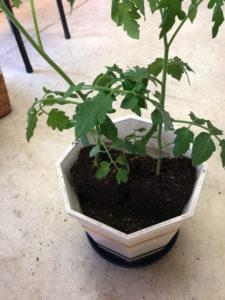 2つミニトマトの苗を並べた所