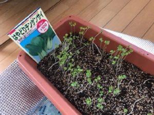 8月22日に撒いたチンゲン菜の新芽