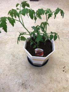 ミニトマトが植え付け完了したところ