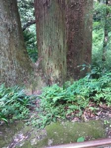 三つ又になっている三本杉
