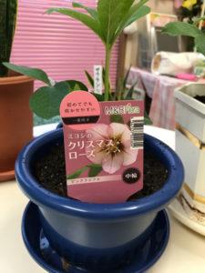 クリスマスローズの苗を植え付け完了した写真